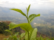 Two leaves and a bud, Bandarawela