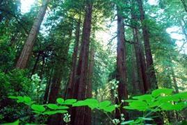 Muirwood forest, San Francisco